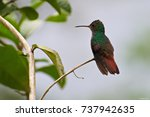 Small photo of Portrait of Rufous-tailed Hummingbird (Amazilia tzacatl) perched on small branch