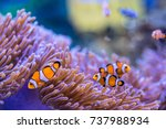Anemone fish  clown fish with...