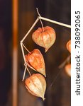 Small photo of dry branches chinese phyllis lantern orange