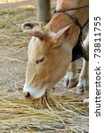 the cow is eating straw | Shutterstock . vector #73811755