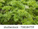 parsley grows in the garden at... | Shutterstock . vector #738184759