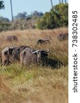 Small photo of African Buffalo in nature