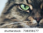 Stock photo cat girl with green eyes close up breed of cat norsk skogkatt also skogkatter and skovkatter or 738358177