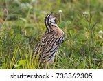 rain quail coturnix...   Shutterstock . vector #738362305