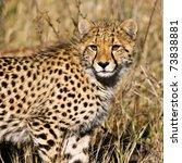Small photo of Cheetah (Acinonyx jubatus soemmeringii) in the Okavango Delta, Botswana