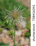 Small photo of fruit of alpine pasqueflower or alpine anemone, Pulsatilla alpina
