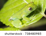 newly emerged treefrog ... | Shutterstock . vector #738480985