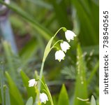 Small photo of Graceful white flowers of Leucojum vernum (Spring snowflake) a small genus of bulbous plants belonging to the Amaryllis family, subfamily Amaryllidoideae, with weeping habit bloom in late winter.