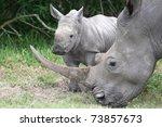 Cute Baby White Rhino Standing...