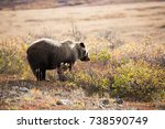grizzly bear eating berries   Shutterstock . vector #738590749
