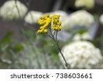 Helichrysum Italicum In Bloom ...