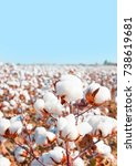 cotton fields ready for... | Shutterstock . vector #738619681