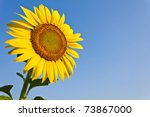 Blooming Sunflower In The Blue...