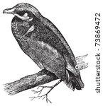 antigua,antiguo,arte,ilustración,pico,ave,negro,rama,dibujo,pato,grabado,grabado,aguafuerte,pluma,ilustración