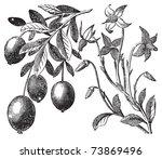 Cranberry Vintage Engraving....