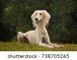 saluki sighthound purebred dog  | Shutterstock . vector #738705265