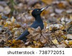 Black Woodpecker Female Sittin...