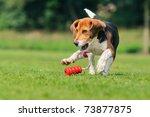 Happy Beagle Puppy Dog Plays...