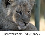 Tired Lion Cub In The Shade