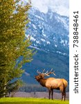 Small photo of This male bull elk is bugling to gather his harem in National Park in Autumn during rutting season