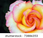 Multicolor Rose Closeup On...