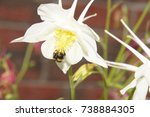White Flower Aquilegia Vulgari...