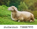 white sheep resting on the... | Shutterstock . vector #738887995