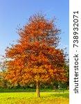 solitaire pin oak  quercus... | Shutterstock . vector #738932071