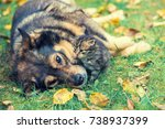 Stock photo dog and little kitten best friends playing together outdoor lying on the grass in autumn 738937399