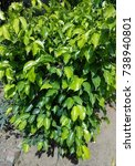 Small photo of Dark and light green Variegated Abelia