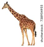 reticulated giraffe isolated on ... | Shutterstock . vector #738954955