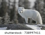 Arctic Fox  Vulpes Lagopus  In...