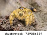 hyllus diardi jumping spider