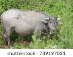 buffalo in thailand | Shutterstock . vector #739197031