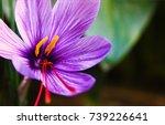 A Saffron Flower.the Vivid...