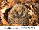 Wild  Native  European Hedgeho...