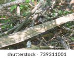 dry pine branches are heaped on ... | Shutterstock . vector #739311001