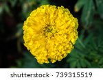 Small photo of An effulgent marigold with green leaves background