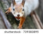 squirrel with nut on a tree... | Shutterstock . vector #739383895