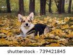 dog breed welsh corgi pembroke... | Shutterstock . vector #739421845