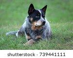 australian cattle dog   Shutterstock . vector #739441111