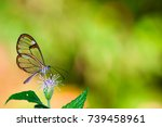 Clearwing Butterfly With...