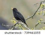 A Male European Blackbird ...
