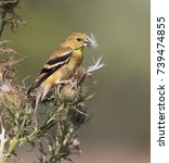 Small photo of American goldfinch (Spinus tristis) female eating thistle seeds at a meadow, Ames, Iowa, USA