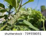 Pest On The Tomato   Tomato...