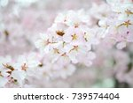cherry blossoms. white and pink ... | Shutterstock . vector #739574404