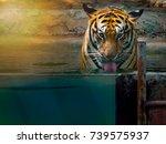 Tiger Concept Big Beautiful Tiger - Fine Art prints