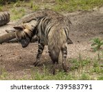 striped hyena called hyaena... | Shutterstock . vector #739583791