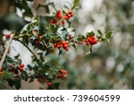 Small photo of Symbol of Christmas in Europe. Close-up of holly acicular - beautiful red berries and sharp leaves on tree in cold winter weather.