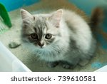 Stock photo natural lighting and shadow of blur grey persian maine coon kitten is using toilet newborn 739610581